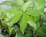 Anthurium aemulum [heterophyllum]