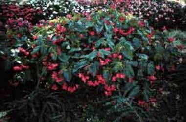 Begonia Dragonwing [hyb]