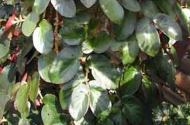 Begonia Panasoffkee [hyb]