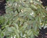 Begonia Withlacoochee [hyb]