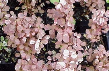 Breynia disticha nana