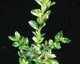 Buxus sempervirens aureo-pendula