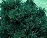 Buxus Green Velvet [hyb]