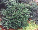 Buxus microphylla koreana Wintergreen