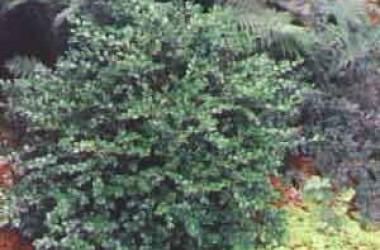 Buxus microphylla koreana Wintergreen