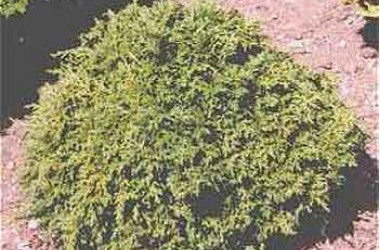 Chamaecyparis pisifera tsukumo