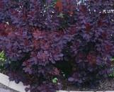 Cotinus coggygria purpureus