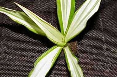 Furcraea gigantea variegata [striata]