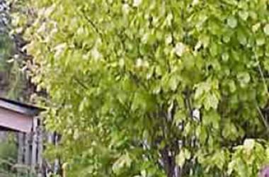 Orixa japonica aurea