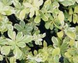 Pachysandra terminalis variegata