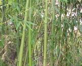 Phyllostachys rubramarginata