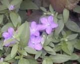 Ruellia macrantha Prostrate Selection
