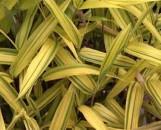 Pleioblastus auricoma [sasa / arundinaria viridistriata In Horticulture]