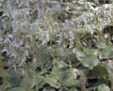Saxifraga veitchiana