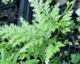 Selaginella Fairy Plume [Species]