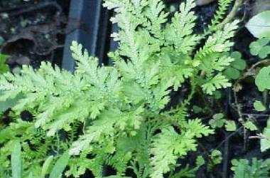 Selaginella Fairy Plume [Species]