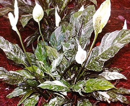 Spathiphyllum Domino Hyb