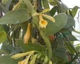 Vanilla planifolia [fragrans]