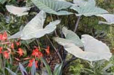 Xanthosoma violaceum