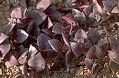 Crassula marginalis