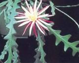 Cryptocereus anthonyanus