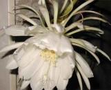 Epiphyllum Bridal Veil [hyb]