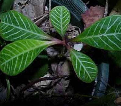 Euphorbia Leuconeura Glasshouse Works