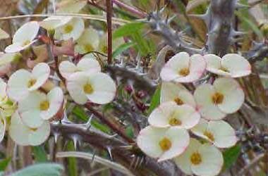 Euphorbia milii Whispers