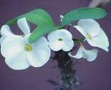 Euphorbia milii Unabashed White [hyb]