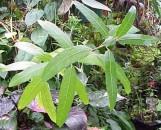 Ficus socotrana [hort]