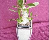 Pachypodium densiflorum densiflorum