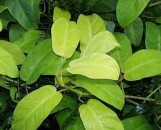 Philodendron Lemonade [hyb]