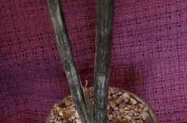 Sansevieria trifasciata Black Sport/Form