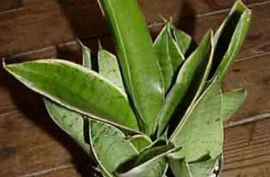 Sansevieria trifasciata Hahnii Silver marginata