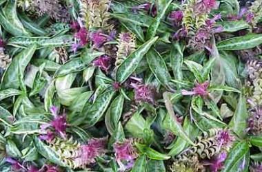 Porphyrocoma pohliana (lanceolata)