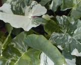 Alocasia macrorhiza variegata