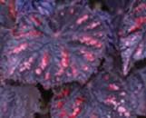 Begonia Cherries And Chocolate [hyb]