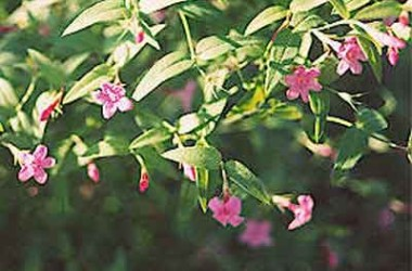 Jasminum beesianum