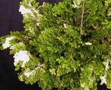 Selaginella martensii albolineata