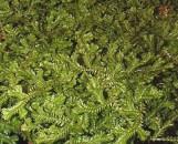 Selaginella posada #15 [Species]