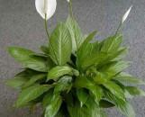 Spathiphyllum Hi Ho Silver [hyb]
