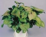 Syngonium podophyllum Berry Allusion