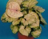 Syngonium podophyllum Bold Allusion