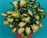 Syngonium podophyllum Mouse Ears
