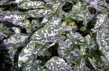 Colocasia [xanthosoma] maculatus