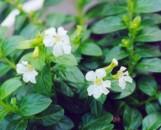 Cuphea hyssopifolia Linda Downer