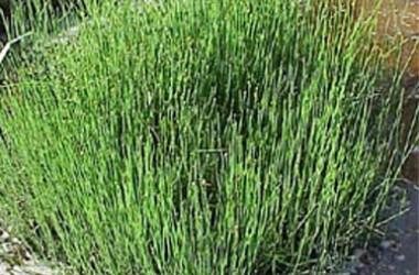 Equisetum triseriale