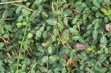 Euonymus fortunei minima [kewensis]