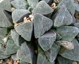 Haworthia pygmaea [hort]