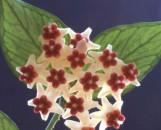 Hoya polyneura Brushstrokes